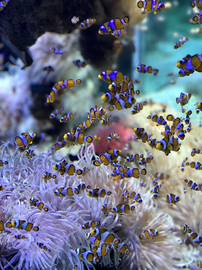Akvariefisk til hjemmet